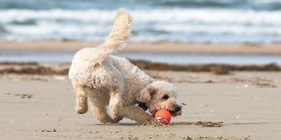 cane in spiaggia gioca con pallina
