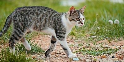 gatto che passeggia