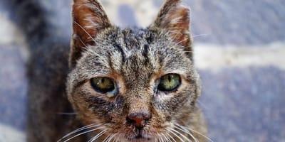 Che cos'è la leucemia felina (FeLV)?