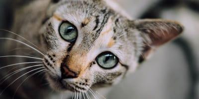 Come calmare un gatto iperattivo?
