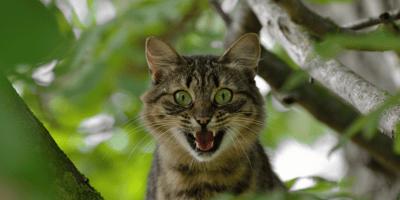gatto che urla
