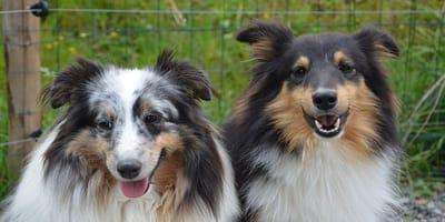 Cane in calore: come capire quando il tuo Fido cerca una compagna
