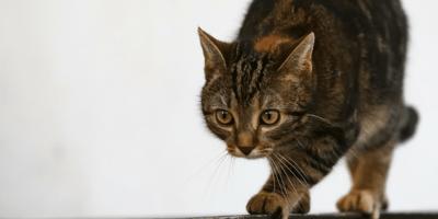 zampata del gatto per segnare il territorio