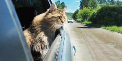 Portare il gatto in vacanza o lasciarlo a casa: cosa fare