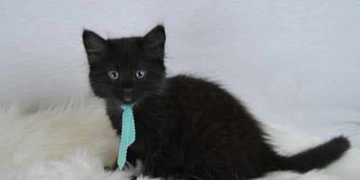 Gattino-nero-su-coperta-con-peli