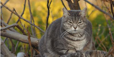 Il comportamento dei gatti castrati o sterilizzati