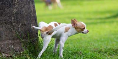 Quando preoccuparsi se c'è sangue nelle urine del cane?