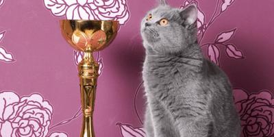 Le classi e le categorie dei gatti delle mostre feline