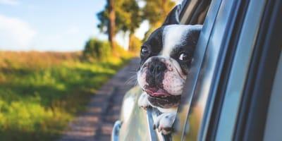 cane fuori dal finestrino di automobile