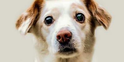 La cataratta nel cane: cos'è e come si cura?
