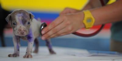 Come avviene la sverminazione del cane?