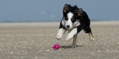 cane insegue pallina sulla spiaggia