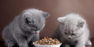 gattini piccoli che mangiano