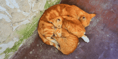 mamma gatta con gattini rossi