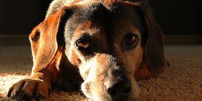 Come curare il tuo cane da un morso di zecca