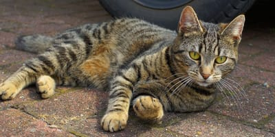 gatto-sdraiato-per-strada