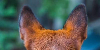 Orecchie del cane viste da dietro
