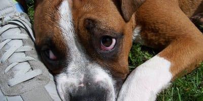 Quali sono i sintomi del cimurro nel cane e come si cura?