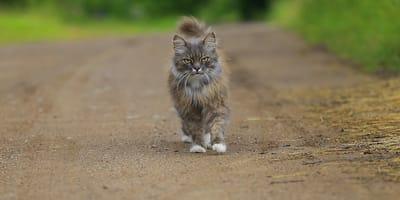 gatto spettinato che passeggia