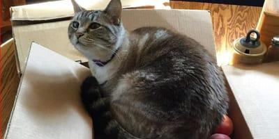 gatto-in-scatola-di-pesche