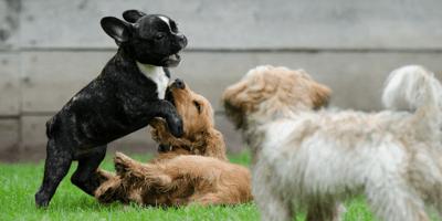 Cani che giocano tra loro