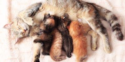 Quali sono i sintomi del parto della gatta e come aiutarla?