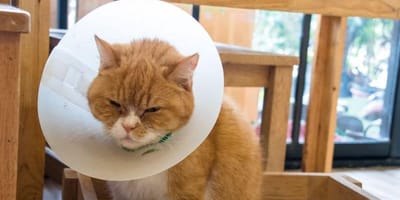 Come funziona la sterilizzazione della gatta?