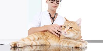 Gatto rosso sul tavolo del veterinario
