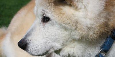 Come capire l'età di un cane dai segnali del corpo