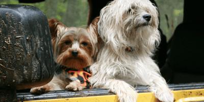 Due cani in auto