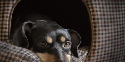 Cane triste dentro la sua cuccia
