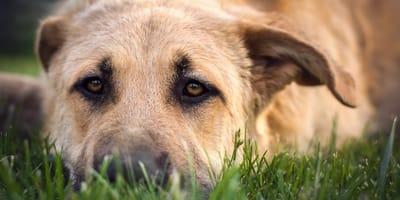 cane con parassiti