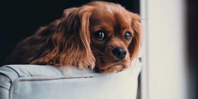 Cucciolo di cane affacciato sul divano