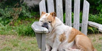 Come individuare e curare l'anemia nel cane?