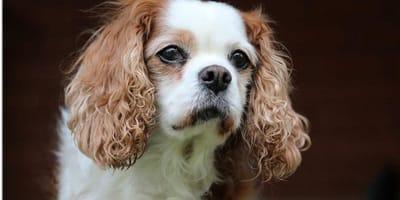 Sintomi, cause e rimedi della metrite nel cane