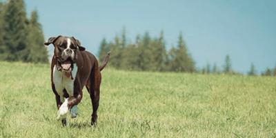 Chimera Boxer corre su un prato