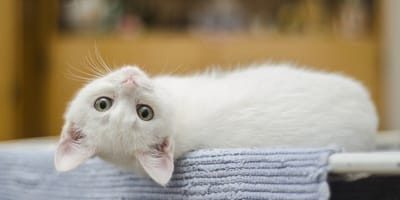 Gattino bianco a pancia all'aria