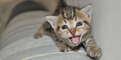 Gattino  che miagola sul divano