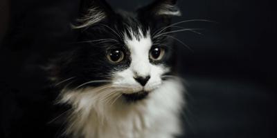 Gatta bianca e nera con occhi verdi