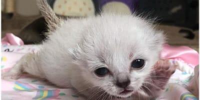 Gattina calica bianca su coperta