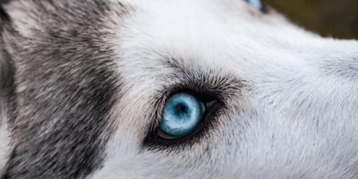 Come pulire gli occhi al cane
