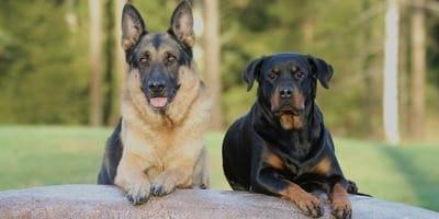 Toelettatura cani di razza: a cosa fare attenzione?
