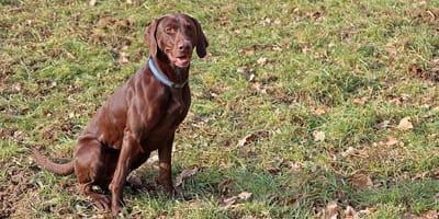 Displasia dell'anca del cane: quali sono i sintomi e come riconoscerla