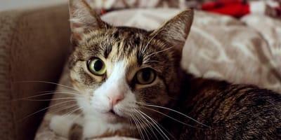 gatto con sguardo fisso
