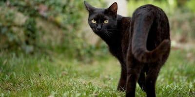 Gatto nero passeggia su un prato