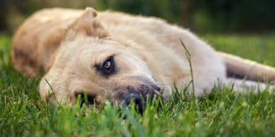 cane-sdraiato-sull-erba