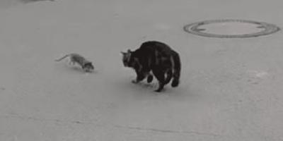 Topo che insegue gatto nero