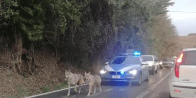 cani-lupo-scortati-da-polizia