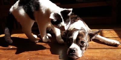 gatto-annusa-cane