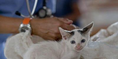 gattino bianco dal veterinario